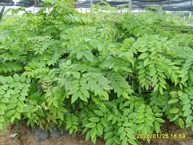 海南黄花梨苗种植和管理 沉香苗 柚木