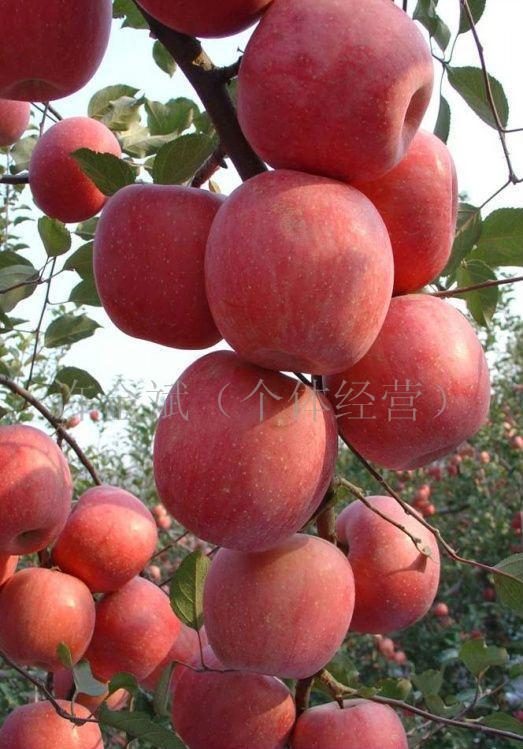 供应桃树苗,梨树苗,苹果苗,板栗苗,木瓜苗