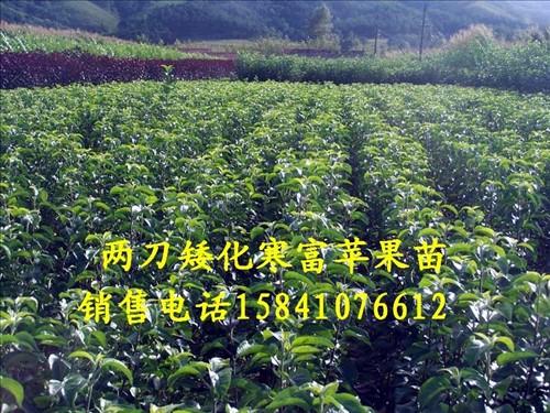 供应大量寒富苹果苗,123果树苗,东北123果树苗