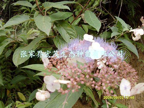 荚迷,观赏树种