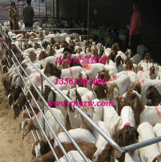 辽宁丹东养羊场-丹东波尔山羊养殖场图片