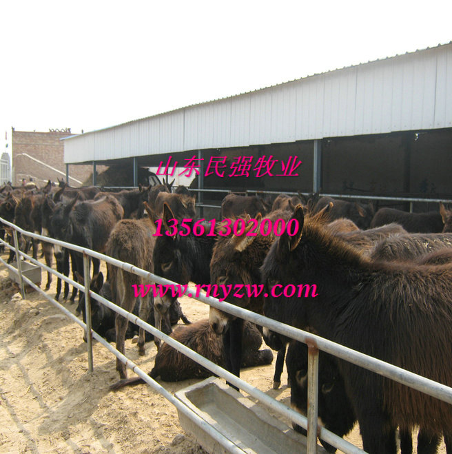 辽宁朝阳养羊场-朝阳波尔山羊养殖场图片