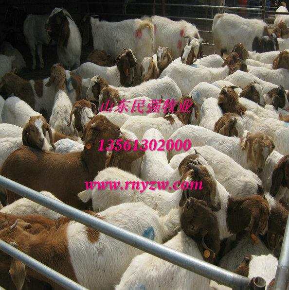 四川养羊场-四川波尔山羊养殖场图片