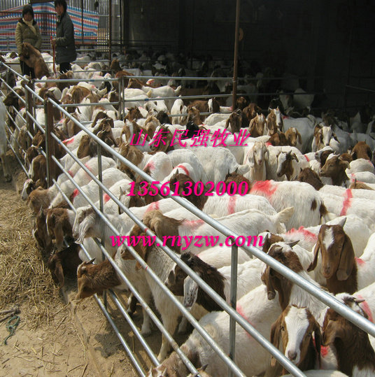 四川德阳养羊场-德阳波尔山羊养殖场图片