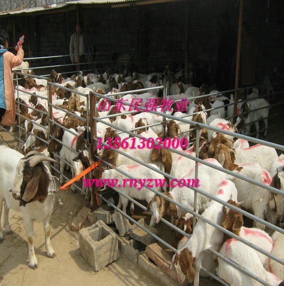 贵州贵阳养羊场-贵阳波尔山羊养殖场图片