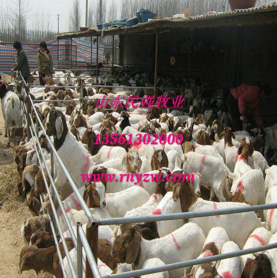 云南红河养羊场-红河波尔山羊养殖场图片