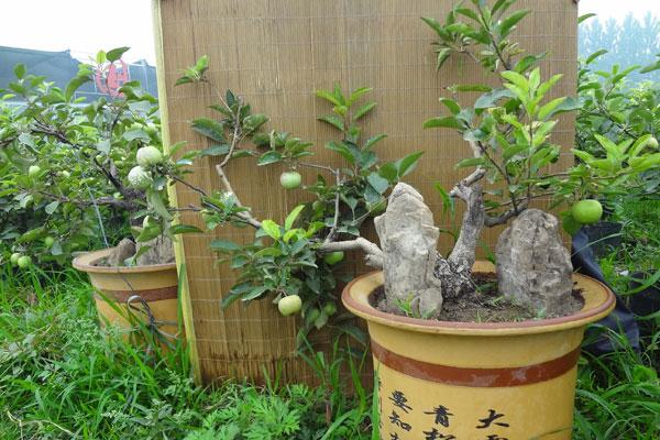 供应果树盆景