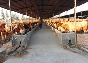 养牛不赚钱,来聊一聊都把钱丢在了哪些环节?