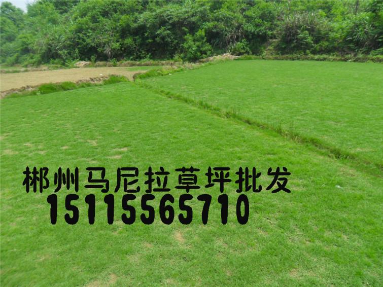 郴州市马尼拉草坪种植基地(台湾青,结缕草,杜鹃,桂花树)