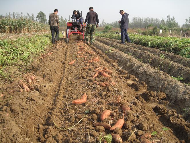 马铃薯土豆收获机_青岛洪珠农业机械有限公司-必途 .