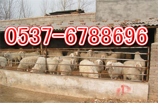 圈养羊舍建设 设计图 圈养羊 的技术湖北养羊基地