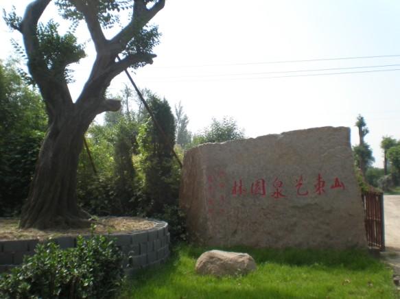 供应70-90厘米高流苏树,流苏树苗-山东艺泉园林