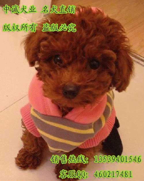 广州茶杯贵宾犬